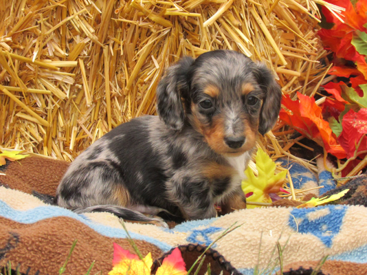 sonja, headings, dog, breeder, certificate, sonja-heading, dog-breeder, mo, summerville, missouri, usda, daschund, rottweiler, puppy, puppies, ACA, IC